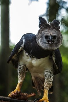 File:Harpy Eagle clutching captured bird - Itirapina Reserve.jpg