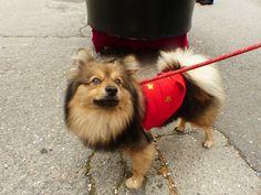 Spitz Pomeranian, Corgi, Fox, Puppies, Animals, Corgis, Cubs, Animales, Animaux