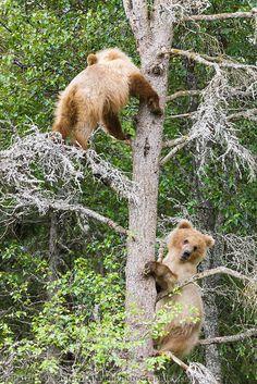 Brown bear 2 year old cub climbs a nearby tree for protection while the mother bear fishes for salmon in the Brooks river, Katmai National Park, southwest, Alaska.