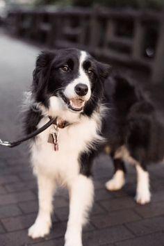 Astounding Border Collie Dog Tips Ideas Border Collie Puppies, Collie Dog, Border Collies, White Border Collie, Cute Puppies, Cute Dogs, Dogs And Puppies, Doggies, Herding Dogs