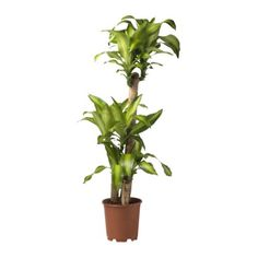 Dracaena Massangeana, removes benzene, formaldehyde and tricloroethylene. Toxic to cats and dogs