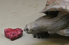 A massive Aldabra tortoise eyes a sweet Valentine's Day treat at the National Zoo.