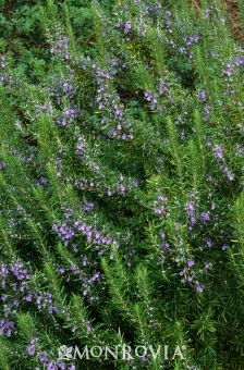 Tuscan Blue Rosemary - good for cooking, evergreen perennial, and grows large enough to use as a hedge!