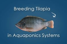 Buying fry (i. baby fish) can get pricey. So you decide to breed your existing stock. Here's what you need to know about breeding tilapia. Aquaponics Greenhouse, Aquaponics Fish, Fish Farming, Aquaponics System, Hydroponic Gardening, Baby Fish, Vertical Farming, Tilapia, Urban Farming