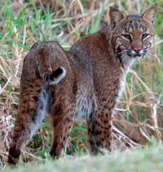 photo of fl bobcat - AOL Image Search Results