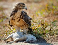 Swainsons Hawk History Online, Birds Of Prey, Raptors, Nature Animals, Eagles, Pet Birds, Wildlife, Owl, Storks