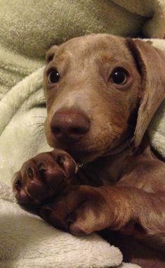 My silver dachshund