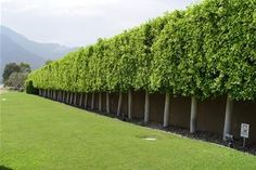 This ficus hedge is composed of trees that reach thirty feet tall but are mercil. This ficus hedge Landscaping Around Trees, Landscaping Near Me, Hillside Landscaping, Tropical Landscaping, Tropical Garden, Privacy Landscaping, Landscaping Ideas, Privacy Trees, Privacy Plants