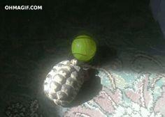Tortoises play ball too!