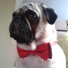 bow tie pug - side profile