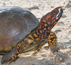 Three-toed Box Turtle - Terrapene carolina triunguis by Brad and Lynn Weinert Box Turtles For Sale, Baby Tortoise For Sale, Different Types Of Turtles, Turtle Store, Eastern Box Turtle, Aquatic Turtles, Wildlife Photography, Animal Photography, Tortoise Turtle