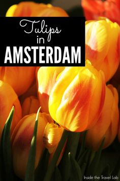 A brief history of the tulip in Holland, the radiant flower that has become a national symbol. Would you visit Amsterdam to see the tulips?  Via @insidetravellab http://www.insidethetravellab.com/tulips-in-amsterdam/
