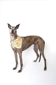 The fabulous Flare, a GRA dog.  She is a calendar girl for Tito's Vodka.