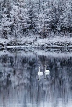 Winter Wonderland - wish I could go there everyday and just watch the swan =/!
