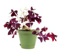 Oxalis easy-to-grow house plant