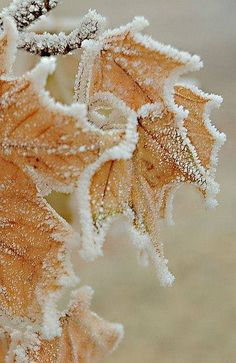 Frosted leaves. I would like to recreate this with fake snow on waxed leaves for…