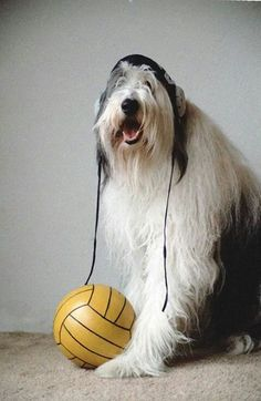 Dog ready for presentation Water Polo, Presentation, Sport, Dog, Photos, Diy Dog, Deporte, Pictures, Sports