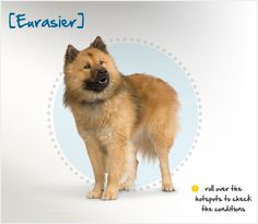The Eurasier is a Spitz-type dog that originated in Germany in 1960, when the breed's founder, Julius Wipfel, crossed a Chow-Chow and a Wolfspitz. The breed that resulted was initially called the Wolf-Chow. Twelve years later, when the Samoyed was added to the mix, the breed was renamed the Eurasier.