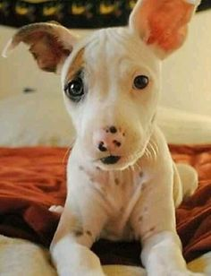 How to Just Look Adorable #bully #puppy