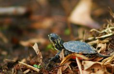 Cute little turtle! Slider Turtle, Baby Turtles, Mini, Nature, Cute, Photography, Animals, Garden, Red
