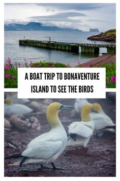 A Boat Trip to Bonaventure Island off the Gaspe Peninsula is must-do activity. See Perce Rock & hike an interesting trail to see thousands of gannets and seabirds Visit Canada, O Canada, Canada Travel, Cruise Travel, Cruise Vacation, Names Of Birds, New England Cruises, Discover Canada, Thousand Islands