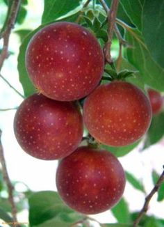 Dovyalis abyssinica or Tropical apricot is native to Southern Africa and Indian sub-continent. The fruit is edible, yellow to purple globose 2-4cm diameter, containing several small seeds. They are very juicy and with an acidic flavour.