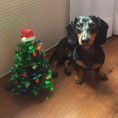 Feliz Natal! • Merry Christmas! #natal🎄 #dachshund #mybaby #salsichinha #sausagedogcentral #sausagedog #dog #dog🐶 #cachorrão #teckel #lindo #merrychristmas #feliznatal