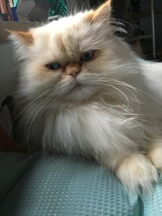 Reza: the himalayan dollface persian.