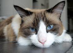 Cat - Ragdoll - Ziva on www.yummypets.com