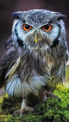 Beautiful Owl, Animals Beautiful, Cute Animals, Owl Bird, Pet Birds, Owl Pictures, Bird Artwork, Wise Owl, Mundo Animal