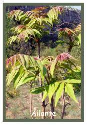 """Ailante  sur le site """"Un jardin sans argent"""", un arbre qui pousse très vite. Les arbres avec les croissances les plus rapides."""