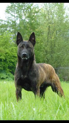 Malinois Giant Dogs, Big Dogs, Dogs And Puppies, Berger Malinois, Belgian Malinois Dog, Dutch Shepherd Dog, Belgian Shepherd, Malinois Shepherd, Belgium Malinois