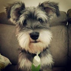 Because I'm Happy | A community of Schnauzer lovers!