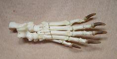 european badger skeleton - Google Search