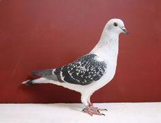 Clean-leg ice pigeon