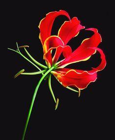 Gloriosa Lily (fire flower!)