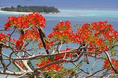 Saipan Flame tree by lorliw, via Flickr