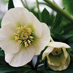 Hellebore (Helleborus), also called Christmas rose, is one of the earliest bloomers in shady gardens. Look for its burgundy, pink, cream, green, or white flowers in late winter or early spring. Although it looks delicate, the Christmas rose is quite sturdy once it gets established. And, it's deer- and rabbit-resistant. Hellebore grows best in Zones 4-8 and grows 12 inches tall.
