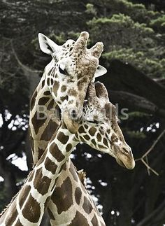 """""""Two Giraffes caressing"""" - Love posters and prints available at Barewalls.com"""