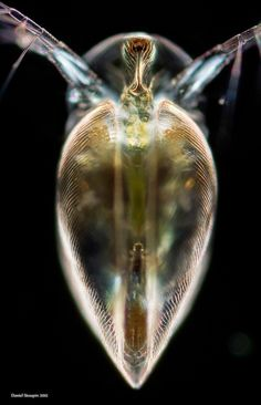 Simocephalus vetulus , a water flea. Frontal view. The image resolution is hight. The height is 6000px. Picture taken with Sony NEX-7.