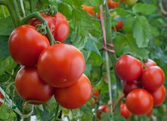 Secrets to Growing Tomatoes in Containers - Urban Gardening