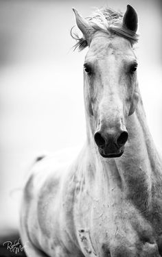 Spirited horse, black and white horse photography, By Raphael Macek.