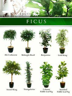 several popular Ficus Indoor Garden, Garden Plants, Paludarium, Deco Floral, Bedroom Plants, Interior Plants, Exotic Plants, Tropical Garden, Tropical House Plants