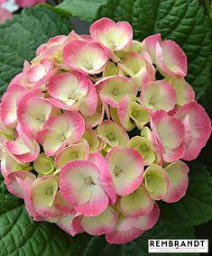 Hortensia Rembrandt 'Dolce Chic'. Endast hos Bakker! Hortensia Hydrangea, Hydrangea Colors, Hydrangea Macrophylla, Hydrangea Flower, Hydrangeas, Shade Flowers, Large Flowers, Pink Flowers, Rembrandt