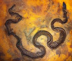 47 million year old Boa snake from the Messel Pit Fossil Site - Senckenberg museum, Frankfurt, Germany. | Photo by Paul Williams, via Flickr. www.IronAmmonitePhotography.com