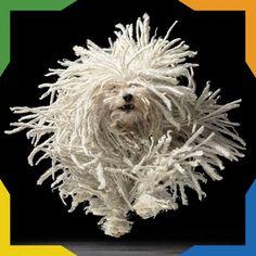 El Komondor es un pastor húngaro, que pertenece a las razas grandes de trabajo, por lo que es un gran ovejero y vigilante, pero también es una buena compañía. Es un perro tranquilo, pero siempre se mantiene alerta. Pueden llegar a ser juguetones y protectores con los niños. Se distingue por sus largos cordones de pelo que llegan hasta el suelo, por lo que es propenso a las infecciones de piel, y sólo existen en color blanco