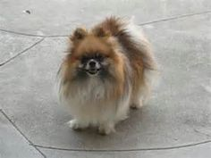 Reminds me of when my Teddy had a full, thick coat of hair. Age has him looking kind of like ... a bald pom guy? I don't care, I still think he's beautiful ... <3 Pomeranian