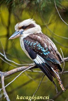 kookabura - kacagójancsi - Ausztrália