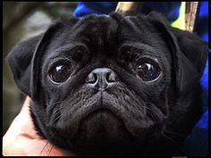 Black pugs are cool