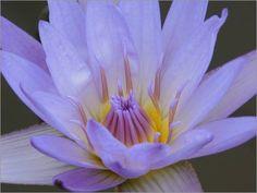 Leinwandbild 40 x 30 cm: Blaue Seerose von Wonderful Dream Picture - fertiges Wandbild, Bild auf Keilrahmen, Fertigbild auf echter Leinwand, Leinwanddruck Wonderful Dream Picture http://www.amazon.de/dp/B00FPH3KVE/ref=cm_sw_r_pi_dp_nL53ub0W6YCYR